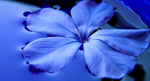 blue-flower-Boulder_Colonics
